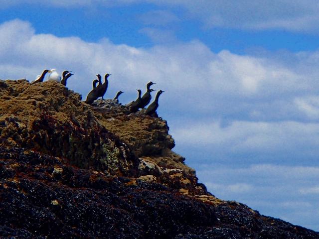 Colonie de cormorans huppés